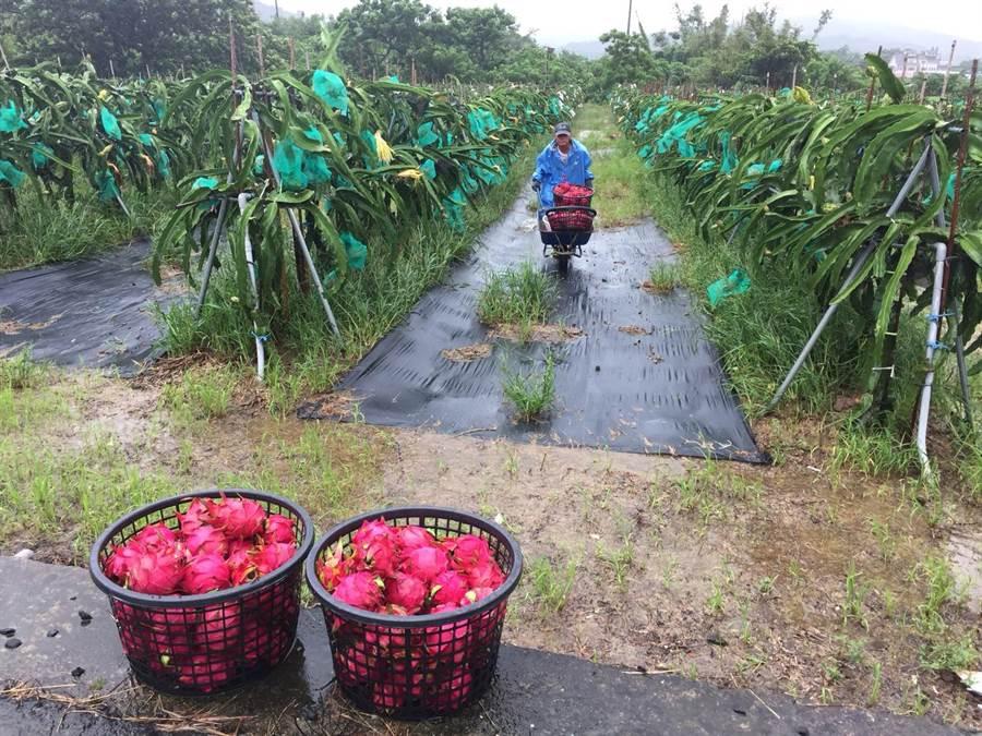 廖姓農友27日為降低水傷農損,冒雨搶摘火龍果。(謝佳潾攝)