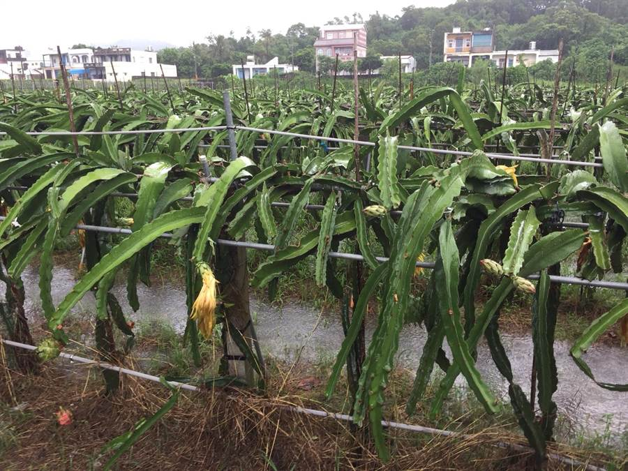 目前正值火龍果產季,無奈豪雨下不停,滿州鄉不少火龍果園都已泡在水中。(謝佳潾攝)