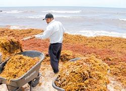海草淹沒加勒比海岸