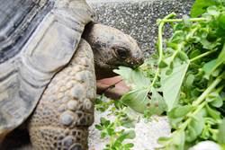 大小象龜吃東西  憨憨萌樣超療癒