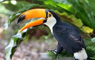 寵物》鞭苔巨嘴鳥出生醜極了  一個月華麗轉身