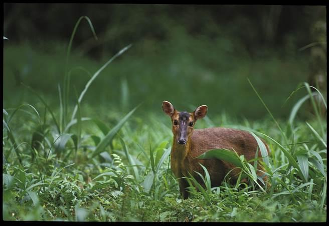 台灣獼猴、山羌、白鼻心等野生動物,年底將從保育類除名。圖為山羌。(林務局提供)