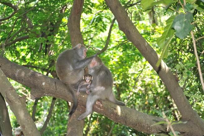 台灣獼猴、山羌、白鼻心等野生動物,年底將從保育類除名。圖為台灣獼猴。(林務局提供)