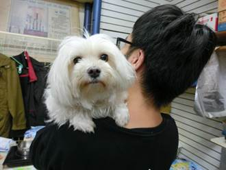藥局店犬BIBO萌樣受客人喜愛