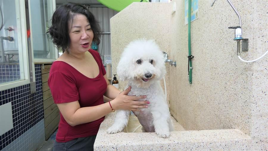 有招財運的「賴進財」,與明星蔡依林的愛犬「Woohoo」同為比熊犬,全身雪白毛捲捲澎澎,非常討人喜歡。(盧金足攝)