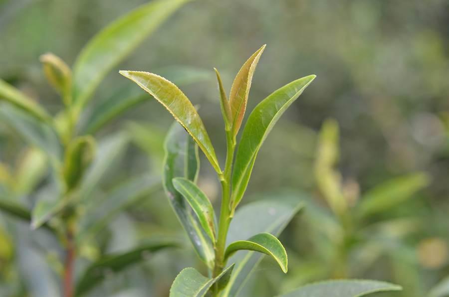 「台茶23號」茶芽。(茶改場提供)