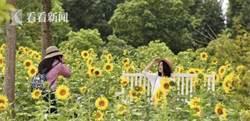 金色花海美景呈現 最大向日葵花海進入盛花期