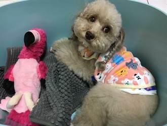 模特兒犬變寵物犬 她的「寶咖咖」超有主見