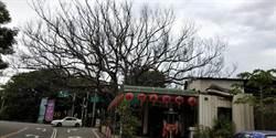根部腐朽 台中月眉百年樟樹枯死
