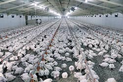 南非家禽業反川普