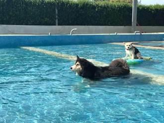 狗狗專屬游池在桃園!滾草皮、洗澡一次滿足