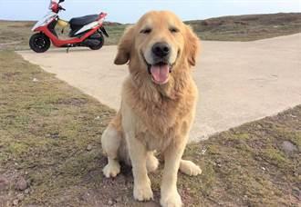 尋找澎湖望安「島狗」黃金獵犬Q醬