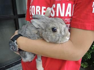 青藥草師的兔兔 最愛趴著聽佛經