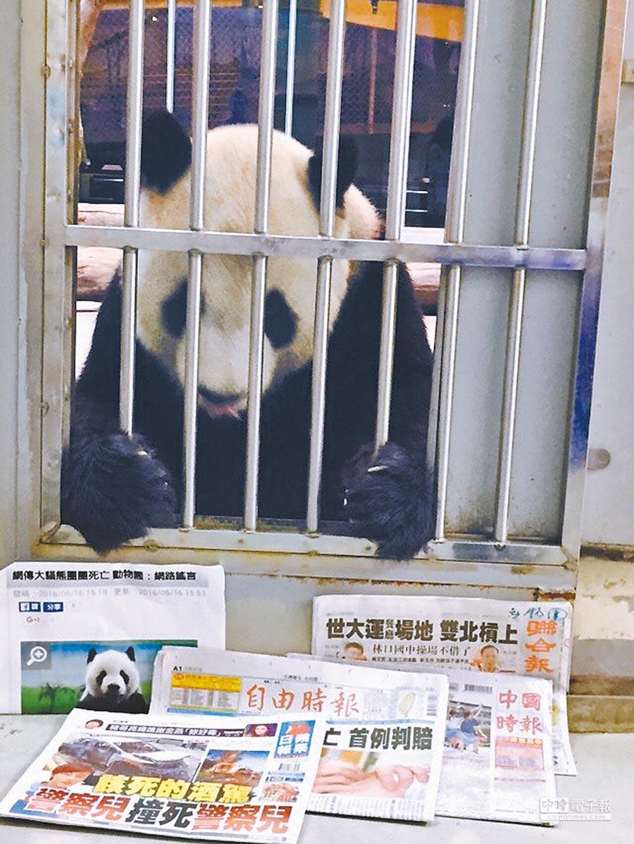 2016年大陸網路新聞報導指台北市立動物園的貓熊「團團」得犬瘟熱死亡,動物園拿報紙和「團團」合照打假新聞。(台北市立動物園提供)