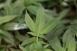 比特幣崩盤後新選擇? 大麻商股價暴衝1159%
