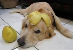 中秋節至  黃金毛孩戴柚子帽超可愛