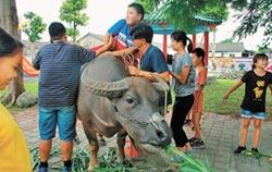 溪州耕牛文化 鮮趣校園