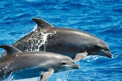 東部鯨豚調查 發現率逾9成
