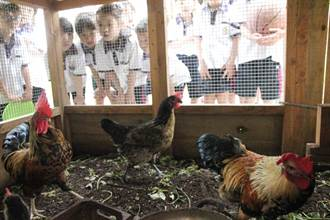 校園每天有公雞啼叫  校雞是成長活教材