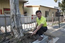 中市大甲開元路至長生路段 施設樹穴兼顧生態