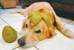 黃金獵犬戴柚帽 眼神逗趣