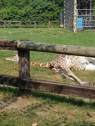 頑皮世界7歲長頸鹿「倒地吐料」猝死嚇呆遊客