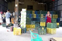 台灣人的愛心又滿又好! 驟逝文旦老農的文旦三天完售