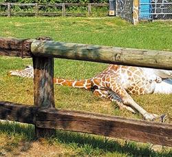 頑皮世界長頸鹿猝死 遊客嚇呆