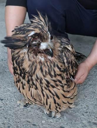 梨山農友拾獲受傷黃魚鴞 隔天搶救不治