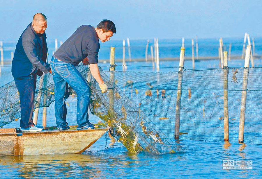 保護太湖水質,大陸明年禁圈養大閘蟹。圖為養殖大閘蟹蟹農。(新華社資料照片)