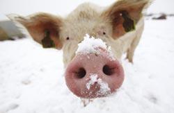 英國豬肉即將在台飄香