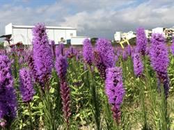 花壇紫色旋風來襲!麒麟菊盛放美如薰衣草