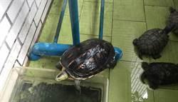 養澤龜人生不孤單 養很多還生一堆小龜蛋
