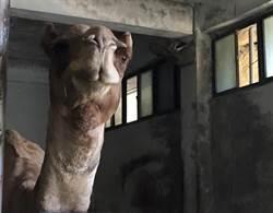 史上首例!台北市立動物園驚傳駱駝咬傷人