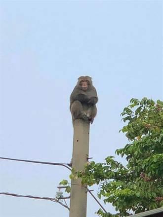 影》猴子鬧區爬電線  網友妙喻:台電巡線員