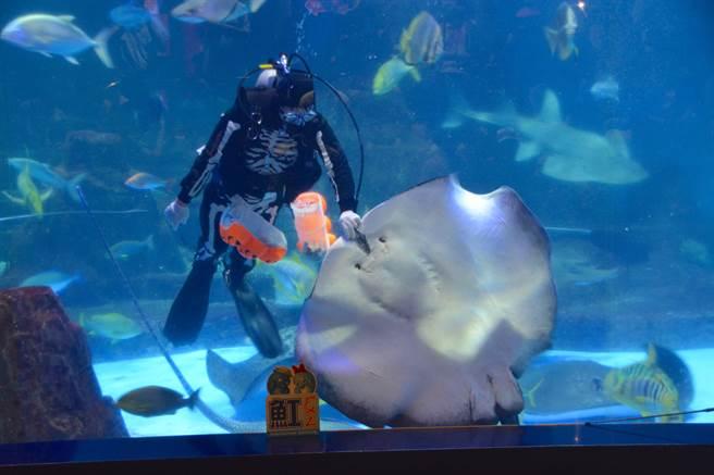 骷顱頭人下海餵食秀!花蓮海洋公園變身「怪誕城」,10月起推出「Happy Halloween萬聖搞什麼怪派對」,讓海洋世界內骷髏人大爆走,連海洋生物也加入萬聖節搞鬼系列中。(張祈攝)