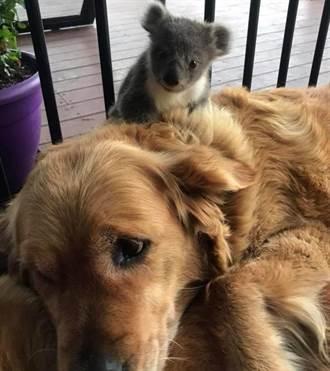 暖心大狗狗! 黃金獵犬救了受凍的小無尾熊