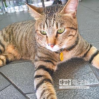 咖啡店貓Mango 稱職賣萌擔當