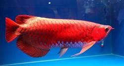 不只是擺飾,紅龍魚成為上流社會階級象徵