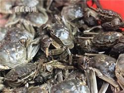 黃浦江大閘蟹開捕上市 平均重量達每只5兩