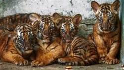 霸氣又可愛 上海動物園新生小虎隊徵名結果揭曉