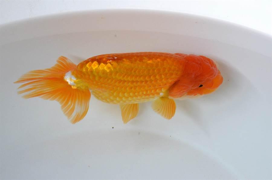 觀賞日本蘭壽金魚得以俯視角度,從上往下看,會發現日蘭的美麗姿態。(林瑞益攝)