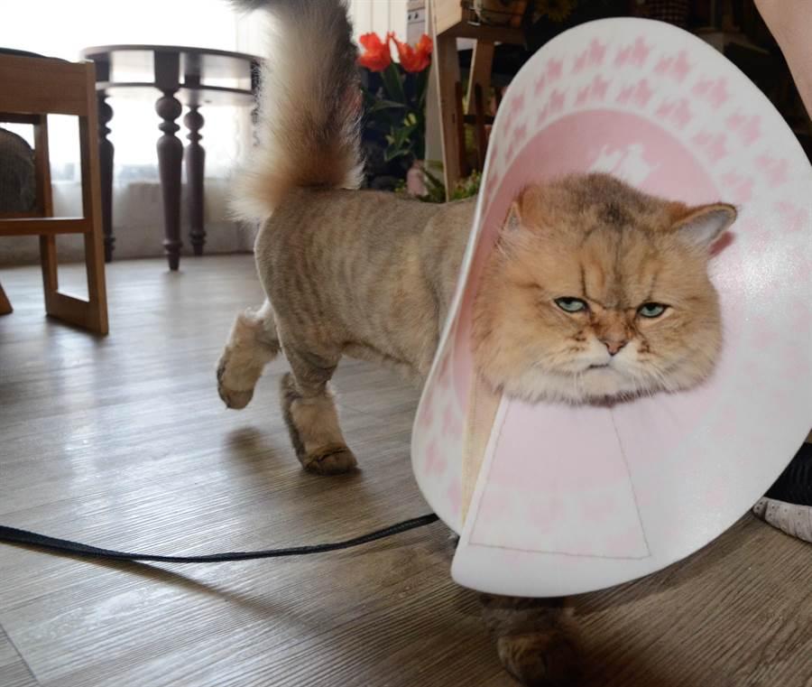 顧啟文養的金吉拉貓,老是一張臭臉。(林瑞益攝)