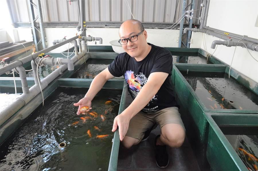 顧啟文養的日蘭與土佐金魚頗具規模。(林瑞益攝)
