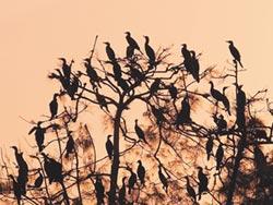 秋冬候鳥壯觀 10萬隻壓境