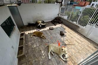 驚!鄰居常聽到動物吼聲 原來他頂樓養3隻獅子