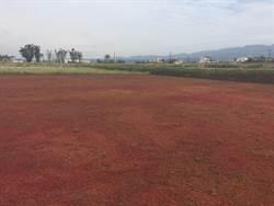 抑制雜草兼做肥 有滿江紅不用除草劑