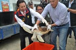 4獲救綠蠵龜金門野放 重返大海別說再見