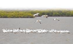 黑面琵鷺來了 10月21台南賞鳥趣