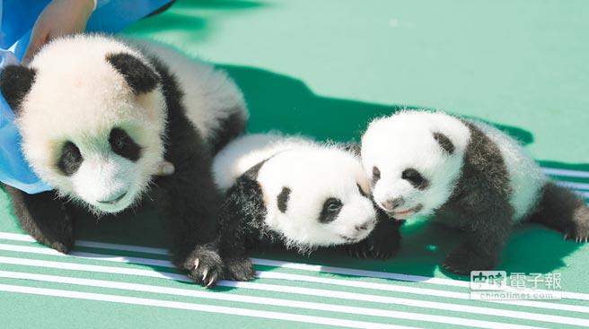 成都貓熊繁育研究基地的貓熊寶寶。(新華社資料照片)